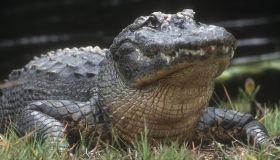 American alligator (Alligator mississippiensis) Adult basking