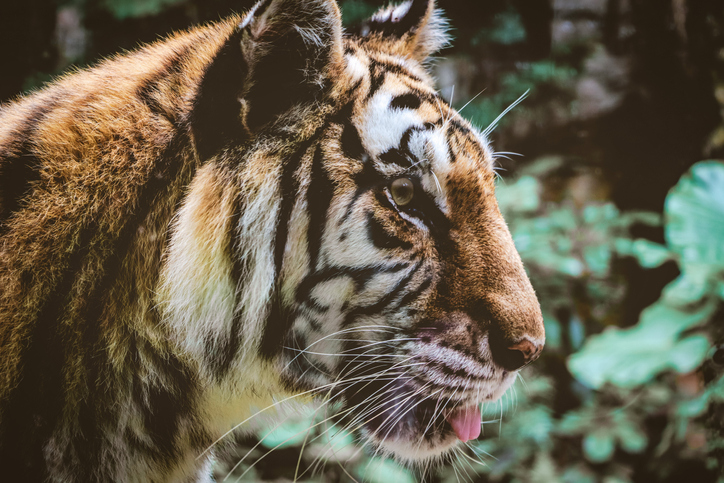 Close-Up Of A Tiger Looking Away